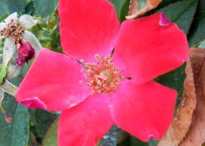 pink wild rose (2)