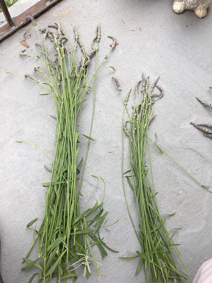 Sorted Lavender stems